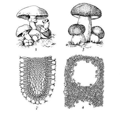 нарисовать гриб в разрезе Уход