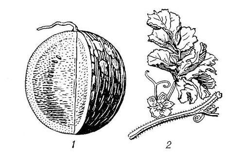Почему у помидор скручиваются листья в теплице