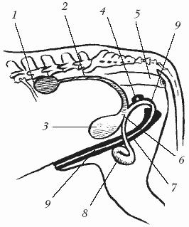 Фото крупным планом полового органа оленя самца фото 608-974