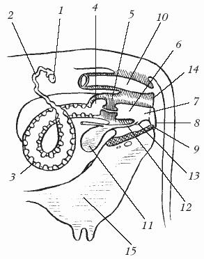 Фото крупным планом полового органа оленя самца фото 608-862